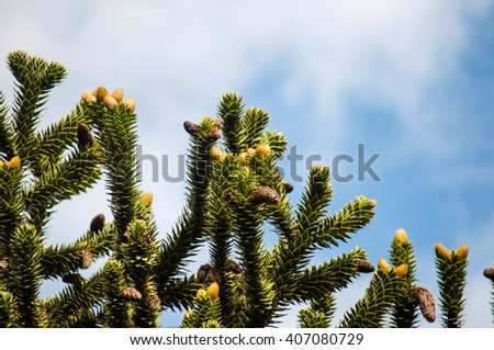 Monkey puzzle tree branches on a blue sky background - stock photo