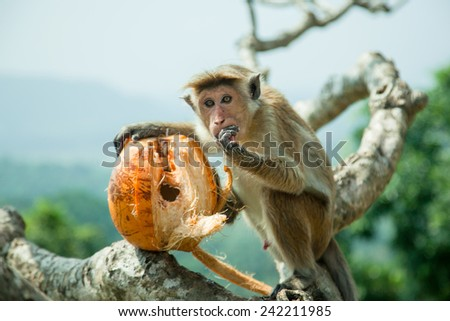 Monkey siting on the tree and eating coconut  - stock photo