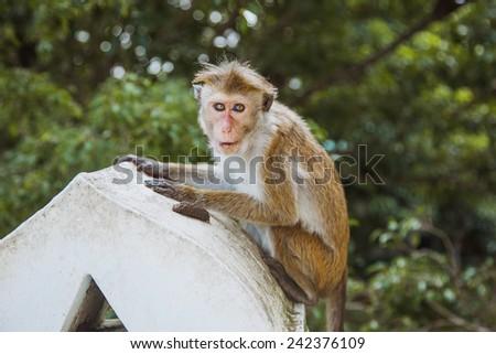 Monkey siting on the tree , Sri Lanka  - stock photo