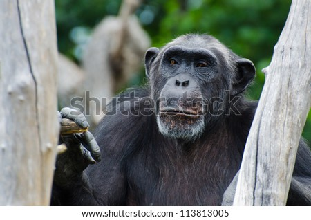 Monkey sitting in an old dead tree - stock photo