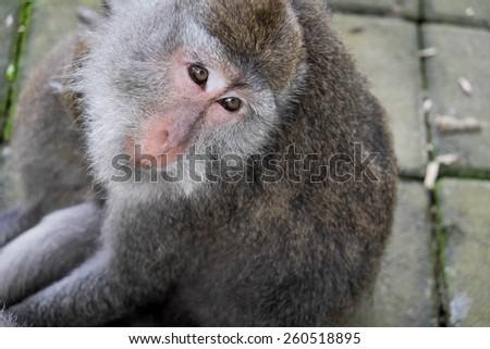 Monkey sitting on the ground, Ubud, Bali, Indonesia - stock photo