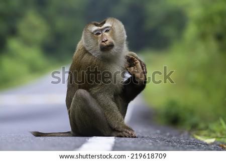 Monkey sitting on the street - stock photo