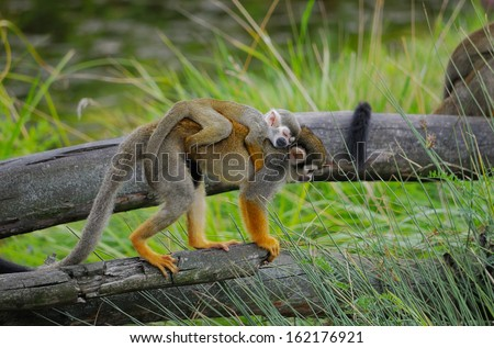 "Monkey ""squirrel monkey"" with a baby on her back is the dry tree - stock photo"