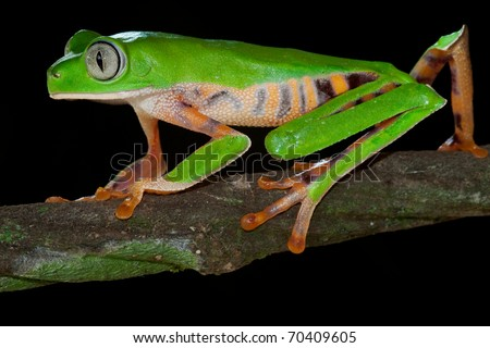 monkey tree frog closeup on a branch in tropical frog rain forest frog exotic animal with bright colors and big eyes endangered amphibian species from amazon frog jungle frog night black background - stock photo