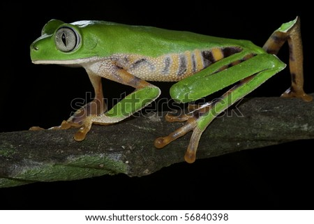 monkey tree frog closeup un a branch - stock photo