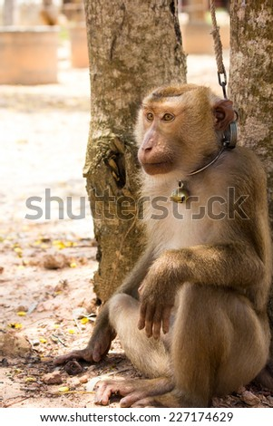 monkey waiting for coconut, southern part of Thailand - stock photo