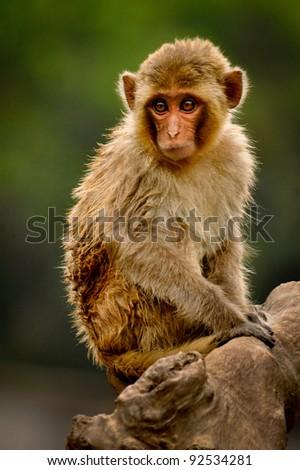 Monkey watching on a tree stump - stock photo