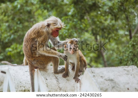 Monkey with a baby in Sri Lanka  - stock photo