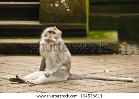 monkey with long tail sitting on the floor in temple - stock photo