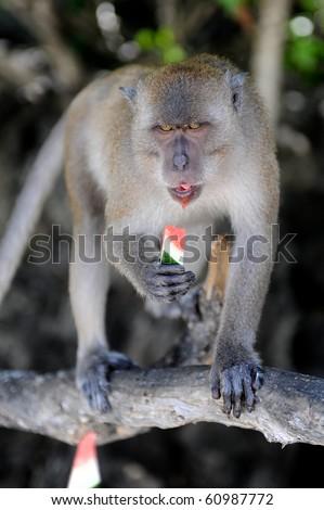 Monkey with watermelon - stock photo