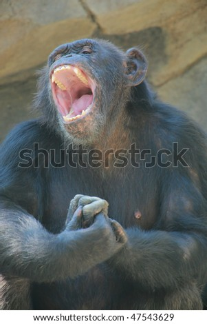 Monkey with wide open mouth - stock photo