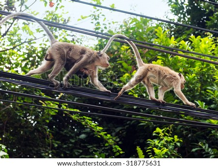 Monkeys at the electrical wires of Koh Chang island, Thailand - stock photo