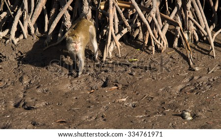 Monkeys foraging in a tidal estuary, Indonesia - stock photo