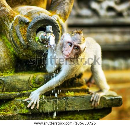 Monkeys in a stone temple. Bali Island, Indonesia. - stock photo