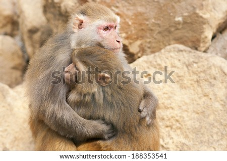 Monkeys in love - stock photo