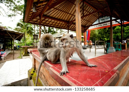 monkeys in Sacred Monkey Forest in Ubud Bali Indonesia. - stock photo