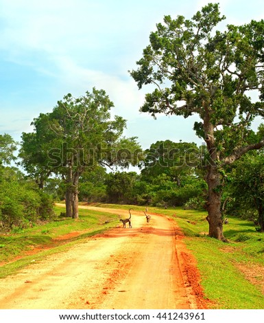 Monkeys on a country road in a national park of Sri Lanka - stock photo
