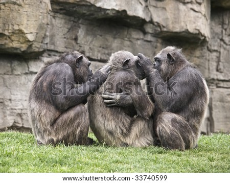 Monkeys on cleaning tasks, removing parasites to each other - stock photo