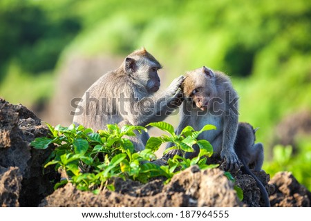 Monkeys on the island of Bali - stock photo