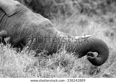 Monochrome close up of an African elephants tusks and trunk as he rests in the sand in the Eastern Cape,South Africa - stock photo