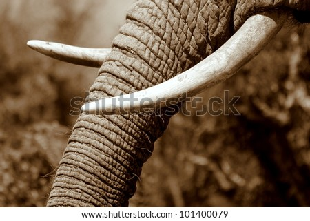 Monochrome close up of an African elephants tusks in Eastern Cape,South Africa - stock photo