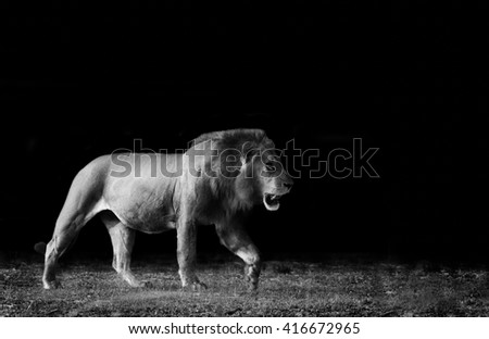 Monochrome image of a wild African Lion - stock photo