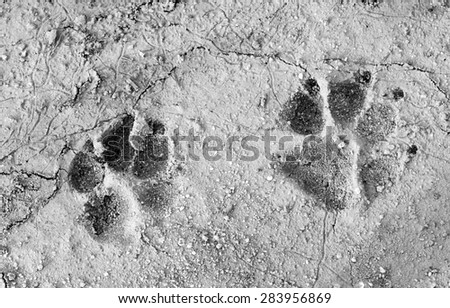 Monochrome of dog footprint on the dry soil  - stock photo