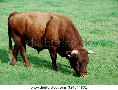 monochrome red cattle breed