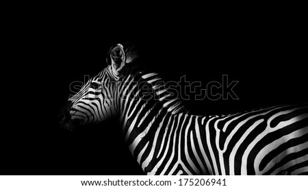 Monochrome side view of a wild African zebra - stock photo