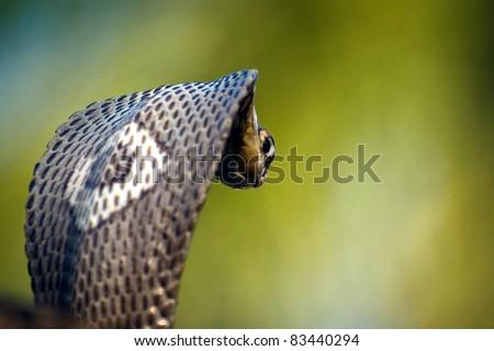 Monocle Cobra - stock photo