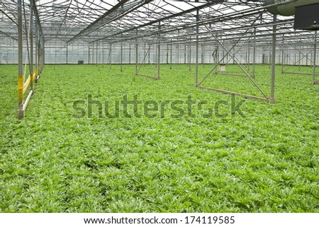 Monoculture of Andive plants growing in glasshouse in summer - horizontal - stock photo
