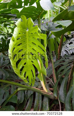 Monstera Deliciosa - a creeping vine with large, leathery, glossy leaves in a tropical island rain forest - stock photo