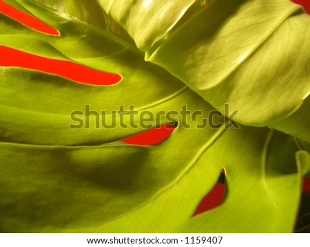 monstera deliciosa leaf plant just growing. abstract view