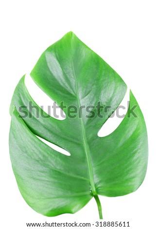 Monstera leaf isolated on white - stock photo