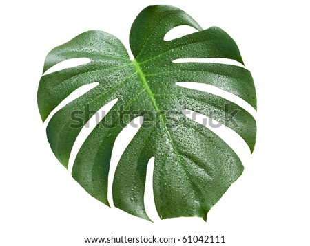 monstera leaf with water drops isolated on white background with clipping path - stock photo