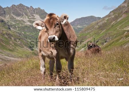 Montafon cows in the Silvretta area, Vorarlberg (Austria) - stock photo