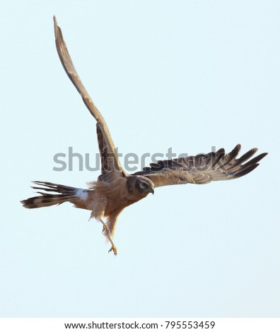 Montagu's harrier , Little rann of kutchh