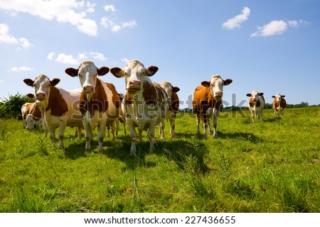 Montbeliarde cows in the pasture - stock photo