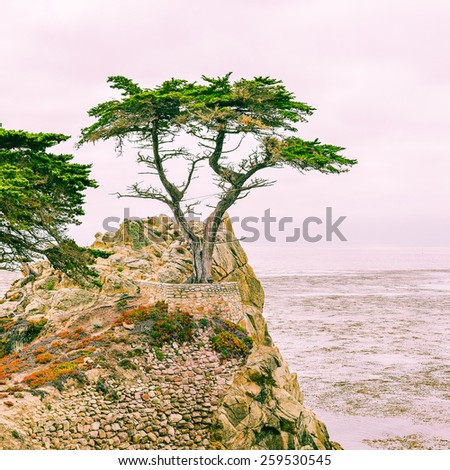 Monterey, CA, USA - Sept. 11, 2013: A western icon, the Lone Cypress Tree is one of the most photographed trees in North America. It stands on a granite hill off  the 17-mile drive in Pebble Beach. - stock photo
