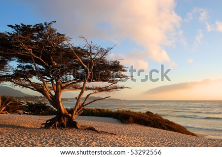 Monterey Cypress (Cupressus macrocarpa) on a beach in early evening light; Carmel-by-the-Sea, California - stock photo