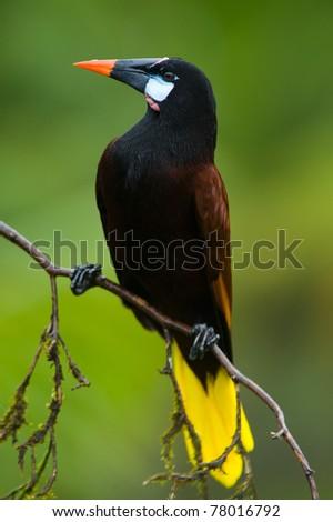 Montezuma Oropendola in Costa Rica - stock photo