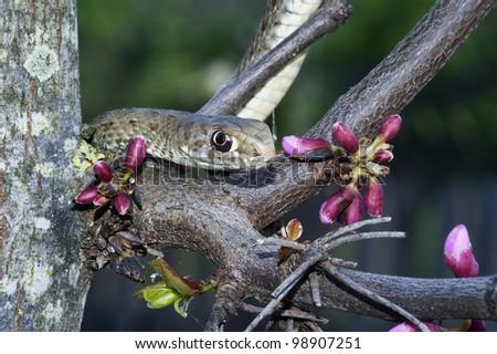 Montpellier snake, Malpolon monspessulanus - stock photo