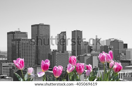 Montreal city with pink tulips on front - stock photo