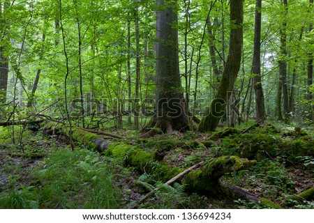 Monumental Norwegian Spruce tree of Bialowieza Forest deciduous stand