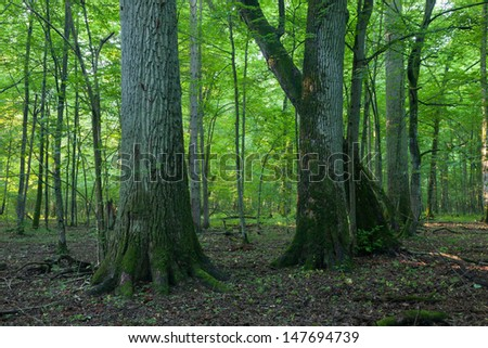 Monumental oak trees of Bialowieza Forest deciduous stand in misty morning - stock photo