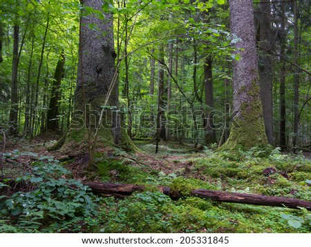 Monumental old spruces against fresh green deciduous background in summertime stand of Bialowieza Forest - stock photo