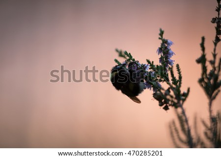 Moody photo of a bumblebee resting on heather