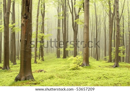 Moody spring forest with beech trees and the mountain mist in the background. - stock photo