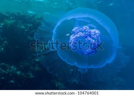 Moon jelly fish (Aurelia aurita). Taken at Red Sea - stock photo