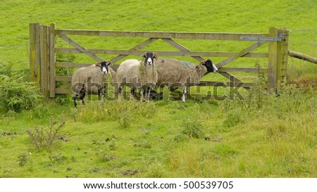 Moor sheep standing in grassland above Danbydale in the North York Moors National Park, North Yorkshire, England
